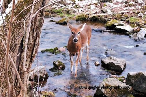 #deer #doe #deerphotography #whitetaildeer #wildlife #wildlifephotography #wildlifephotos #wildlifeportrait...