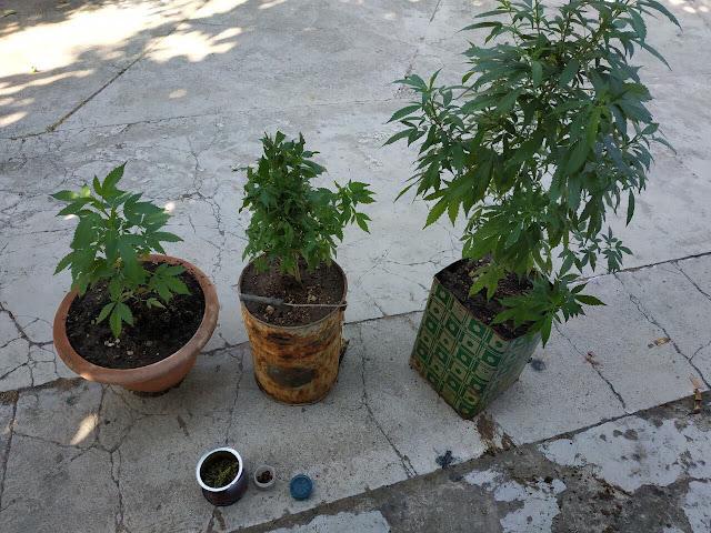 Αστυνομικός σκύλος ξετρύπωσε χασισόδεντρα σε αυλή σπιτιού στο Ναύπλιο