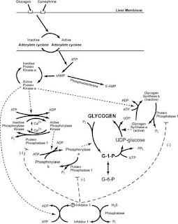 mobilization of glycogen