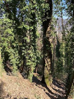 Ivy infestation along Via Costantino Beltrami.