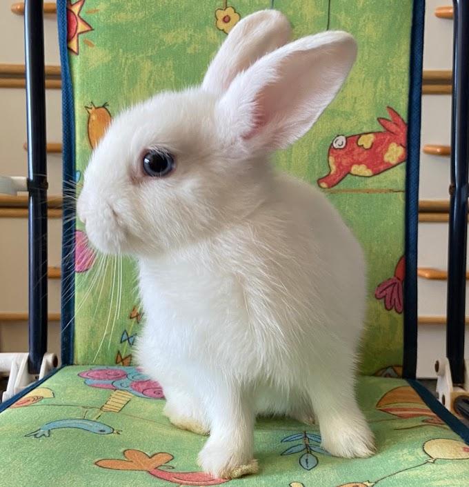 Aria (conejo hembra)