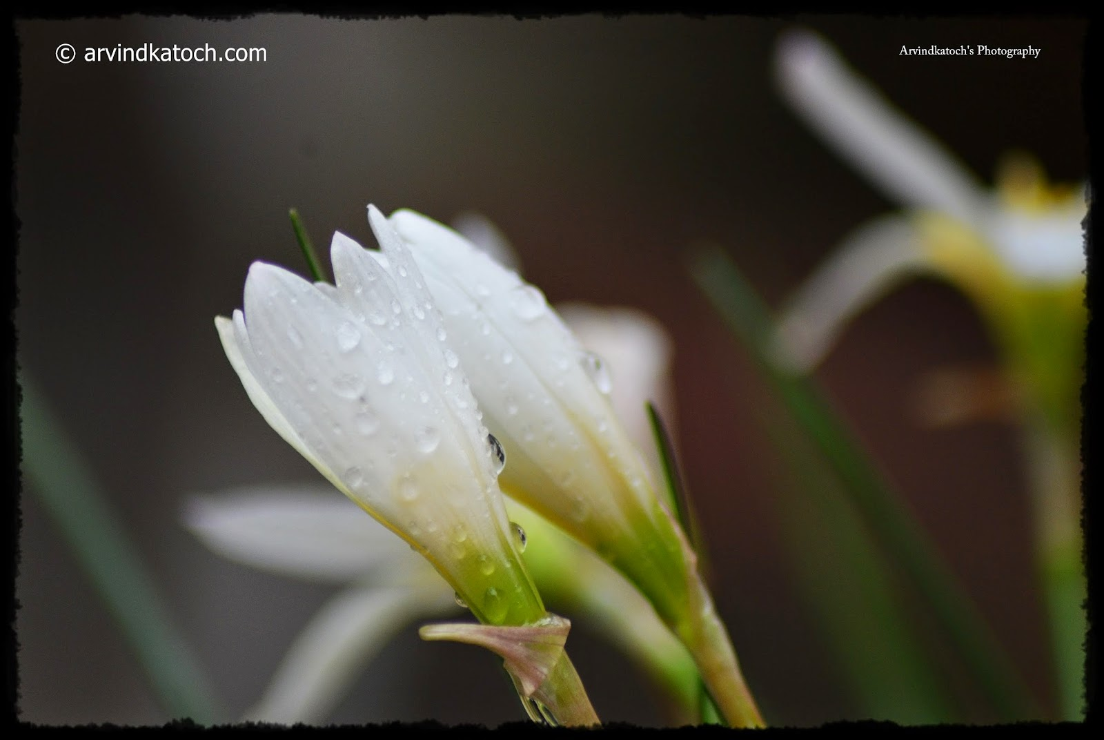 White Grass, Flower, Rain drops