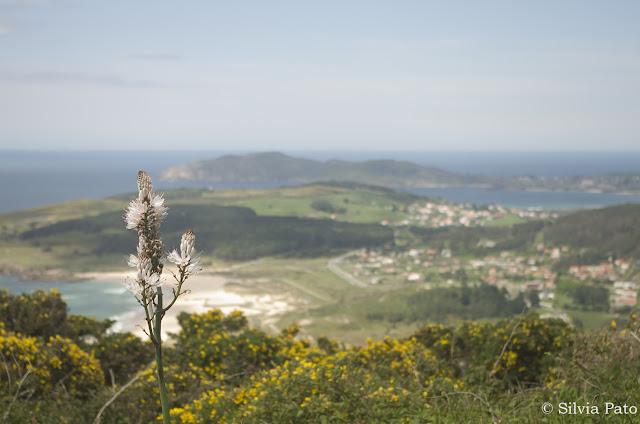 Asphodelus albus en Galicia