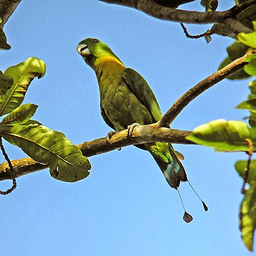 Dalam bahasa Inggris dikenal dengan nama  Mengenal Burung Kring-kring Dada Kuning