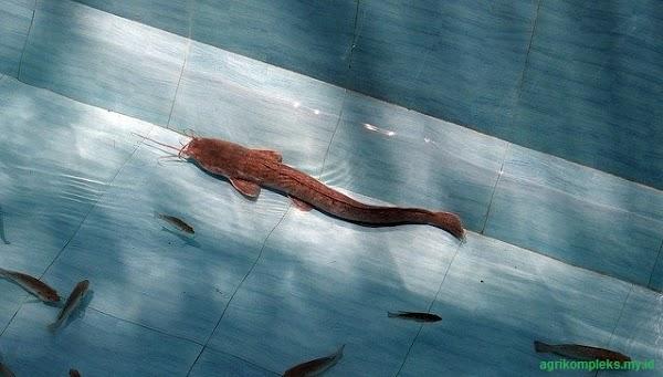 Cara Budidaya Ikan Lele Di Kolam Semen Agar Hasil Melimpah
