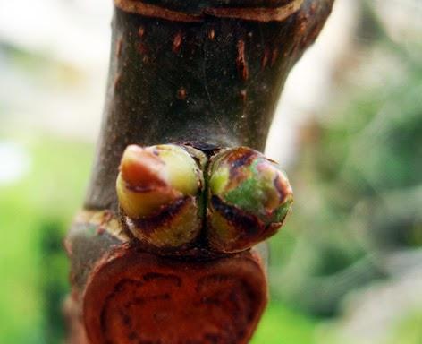 Flores de la higuera