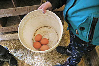 January 27, 2018 Gathering farm fresh eggs.