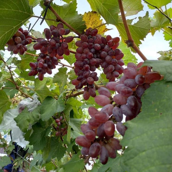 Bibit anggur Oscar VALID Denpasar