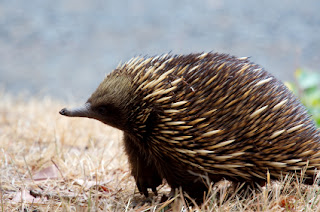 Short Beaked Echidna, Papua Endemic Species