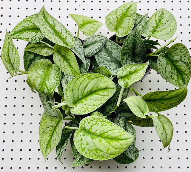 Silver Satin Pothos from online Etsy plant shop