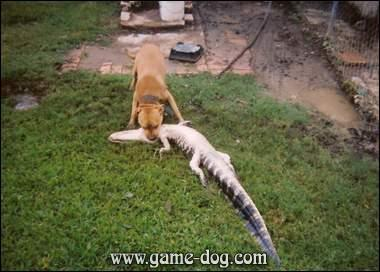 Gator Pitbull Pictures Dogs
