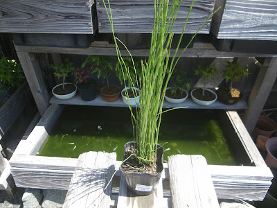 湿地性 トクサ