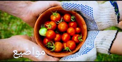 زراعه الطماطم من البذور -مواضيع