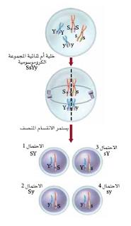 خلية تحوي أربعة كروموسومات