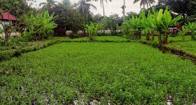 Kebun kangkung