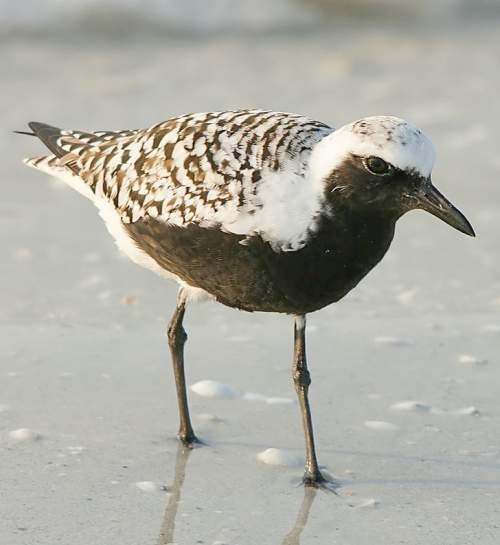 Indian birds - Picture of Grey plover - Pluvialis squatarola