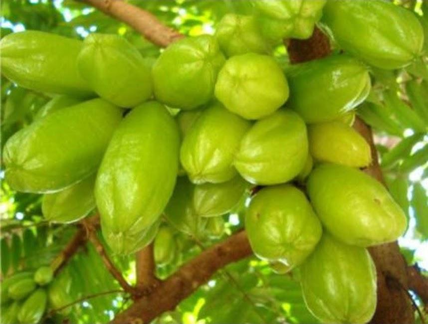 Bibit Tanaman Buah Belimbing Wuluh Unggul varietas dijamin asli dan bergaransi Gorontalo