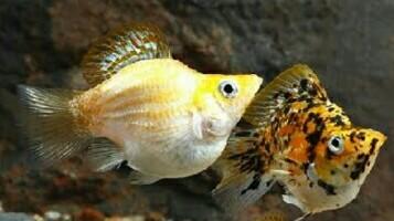 10 Ikan Hias Air Tawar Yang Bisa Di Campur Satu Aquarium Jejaksemut
