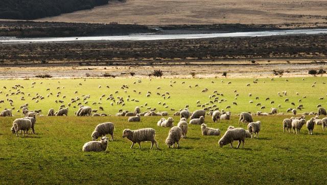 Nueva Zelanda lanza un programa genético que permitirá criar ovejas 'ecológicas' con baja emisión de metano
