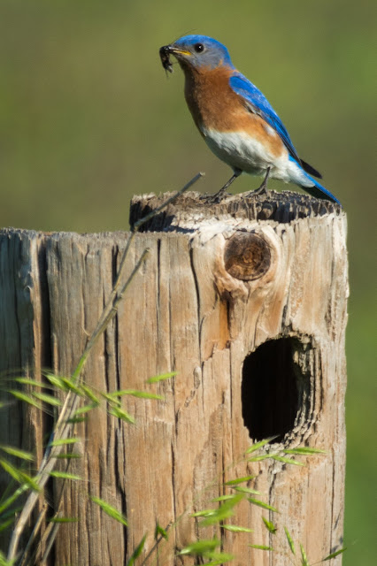 Eastern Bluebird with Meal