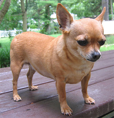 Dog Breed Informations Chihuahua Dog Appearance Temperament And