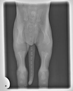 ossos de filhote de cães