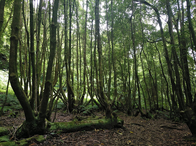 Bosque de laurisilva junto al Salto de Cagarrao (Azores)