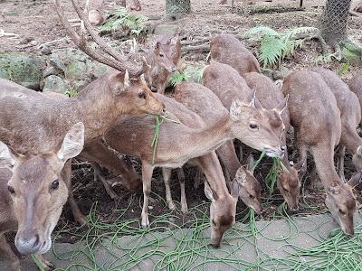 Memberi makan Rusa - TSI 2 Prigen - 3H2M Malang TSI 2 stay 1N@ Baobab Safari Resort
