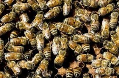Koloni Lebah Ternyata Mirip Respon Otak Manusia