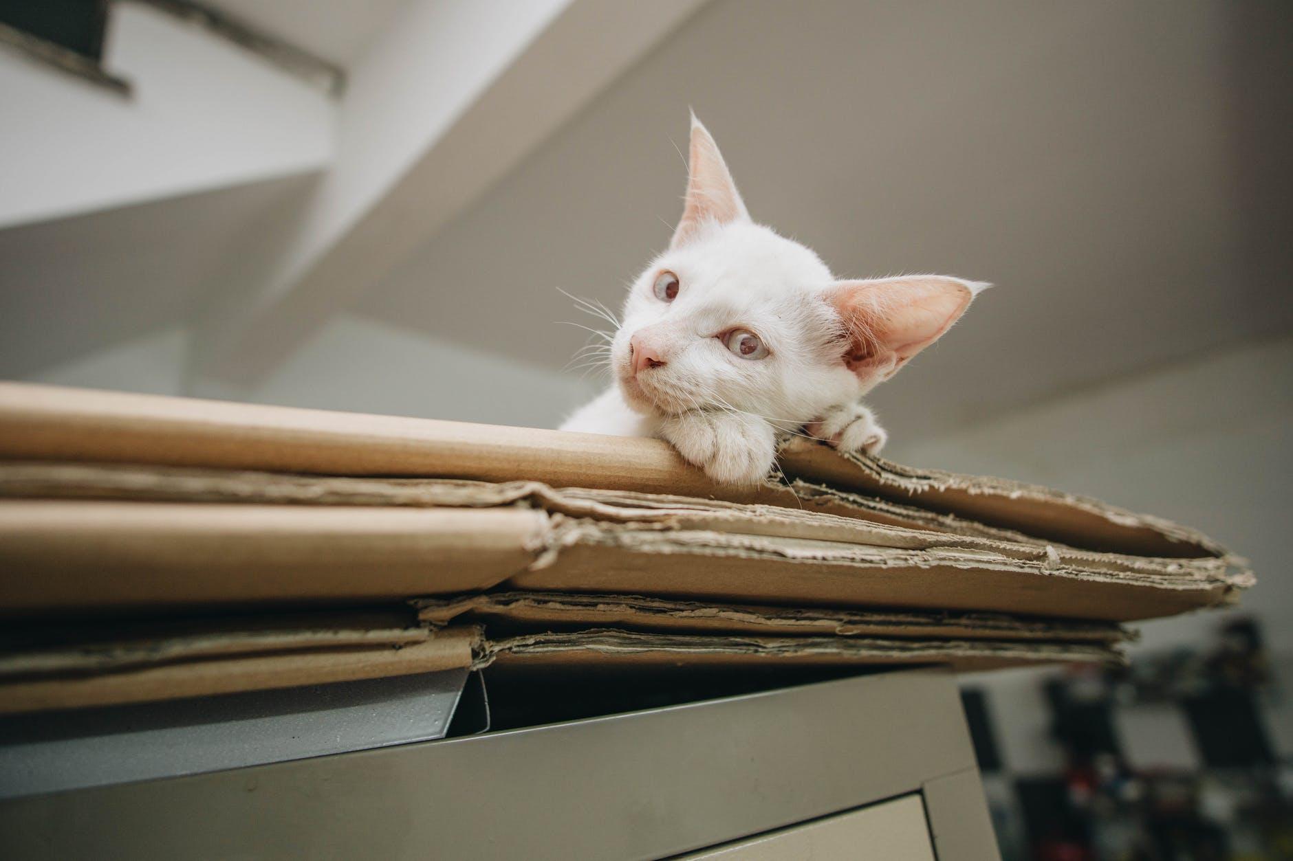 Pourquoi voyons-nous des chats dans des boîtes en carton si heureux?