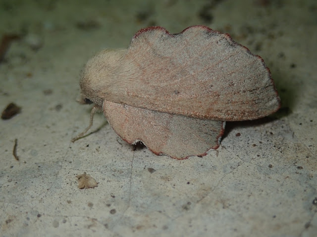 Phyllodesma suberifolia