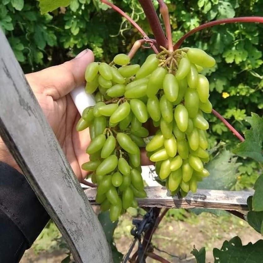bibit anggur import akademik Ambon