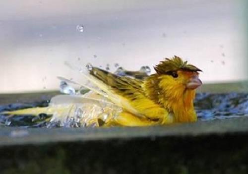 memandikan burung kenari