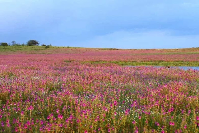 valley of flowers kashmir  flower valley in south india  flower city in india  flower valley in world  beautiful flower valley  valley of flowers uttarakhand package  valley of flowers best time to visit  valley of flowers facts
