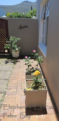 New roses for Rose Courtyard