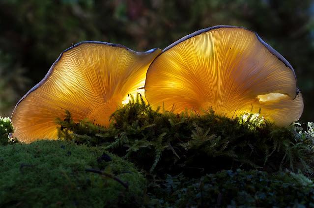 Funghi Pleurotus: proprietà e come cucinarli