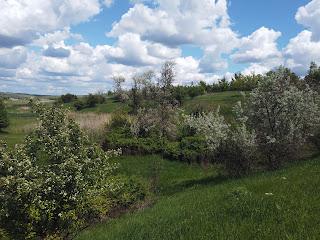 Балка Сухая. Ясиноватский район, Донецкая обл. Ботанический памятник природы