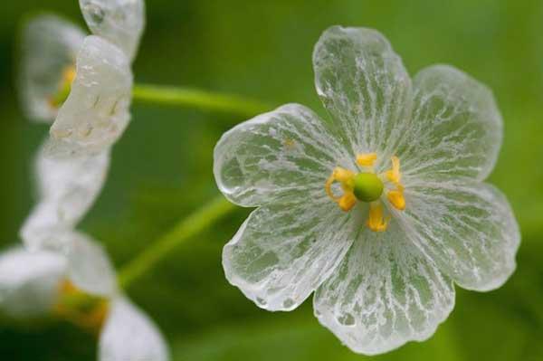 Παράξενο λουλούδι γίνεται διάφανο στη βροχή