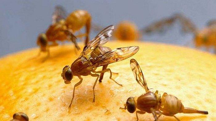 Lalat Buah, manfaat lalat buah bagi manusia, insektisida pembasmi lalat buah, cara membasmi lalat buah secara alami, tanaman pengusir lalat buah, obat lalat buah pada cabai, cara membasmi lalat buah pada tanaman jeruk, perangkap lalat buah, mengusir lalat buah dengan kapur barus, cara menangkap lalat buah
