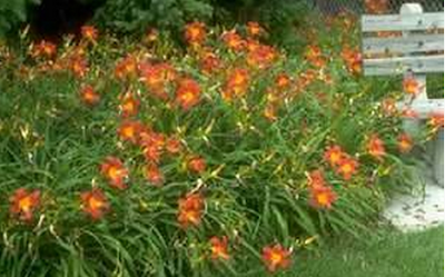 цветы-лилейники