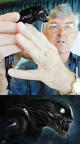 نوع من الاسماك يشبه الكائن المخيف في فيلم  Alien