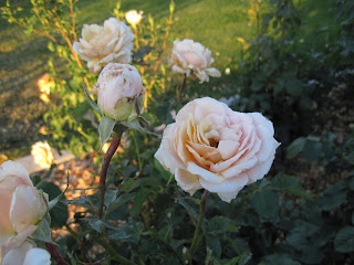 Pale colored roses.
