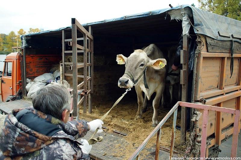 Коровы транс