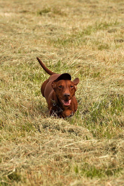Dachshund Running Hickory Ridge Studio