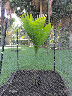 first leaf, double coconut, Lodoica maldivica
