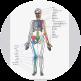 A diagram of the Skeleton: Anterior view
