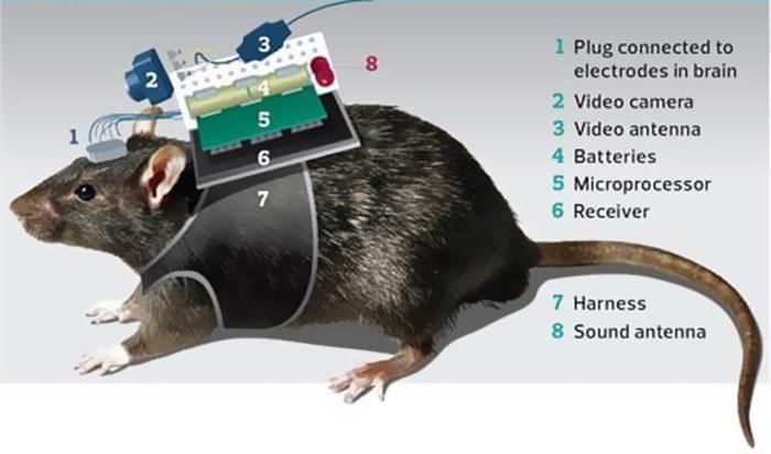 Tikus Setengah Robot