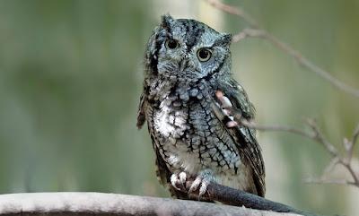 12 Makanan Burung Hantu Untuk Semua Jenis (lengkap)