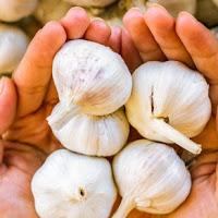 Comer alho diariamente previne câncer de pulmão e de cólon em 40 por cento
