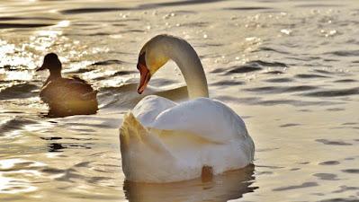 بط يسبح فى المياة، صور طيور